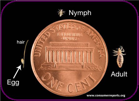 Adult head lice are nearly as tall as the Lincoln Memorial on a penny. Eggs and nymphs are much smaller.